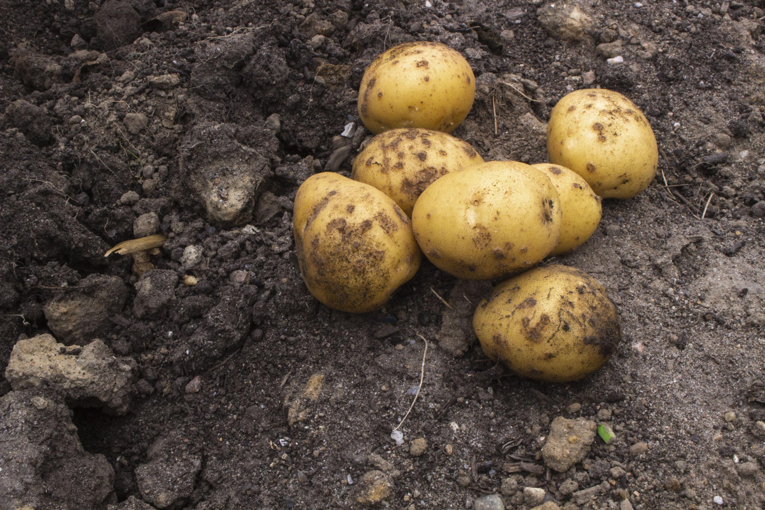 Dyrkning af kartofler