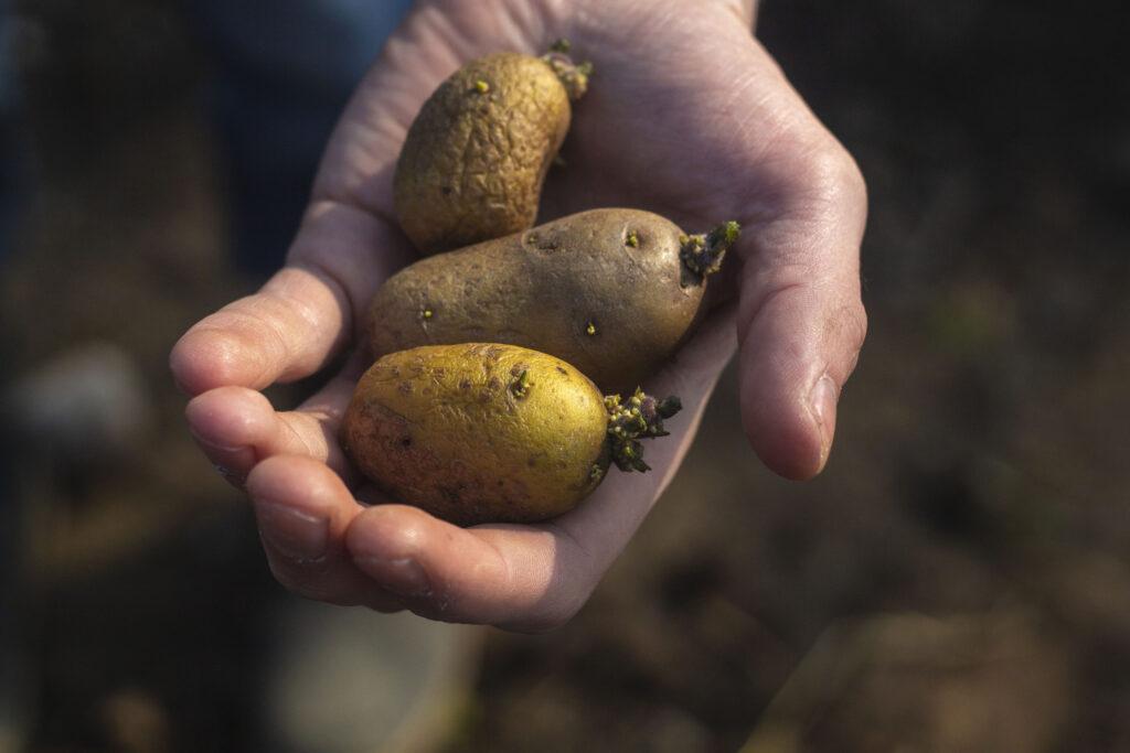 Kartofler-som-basis