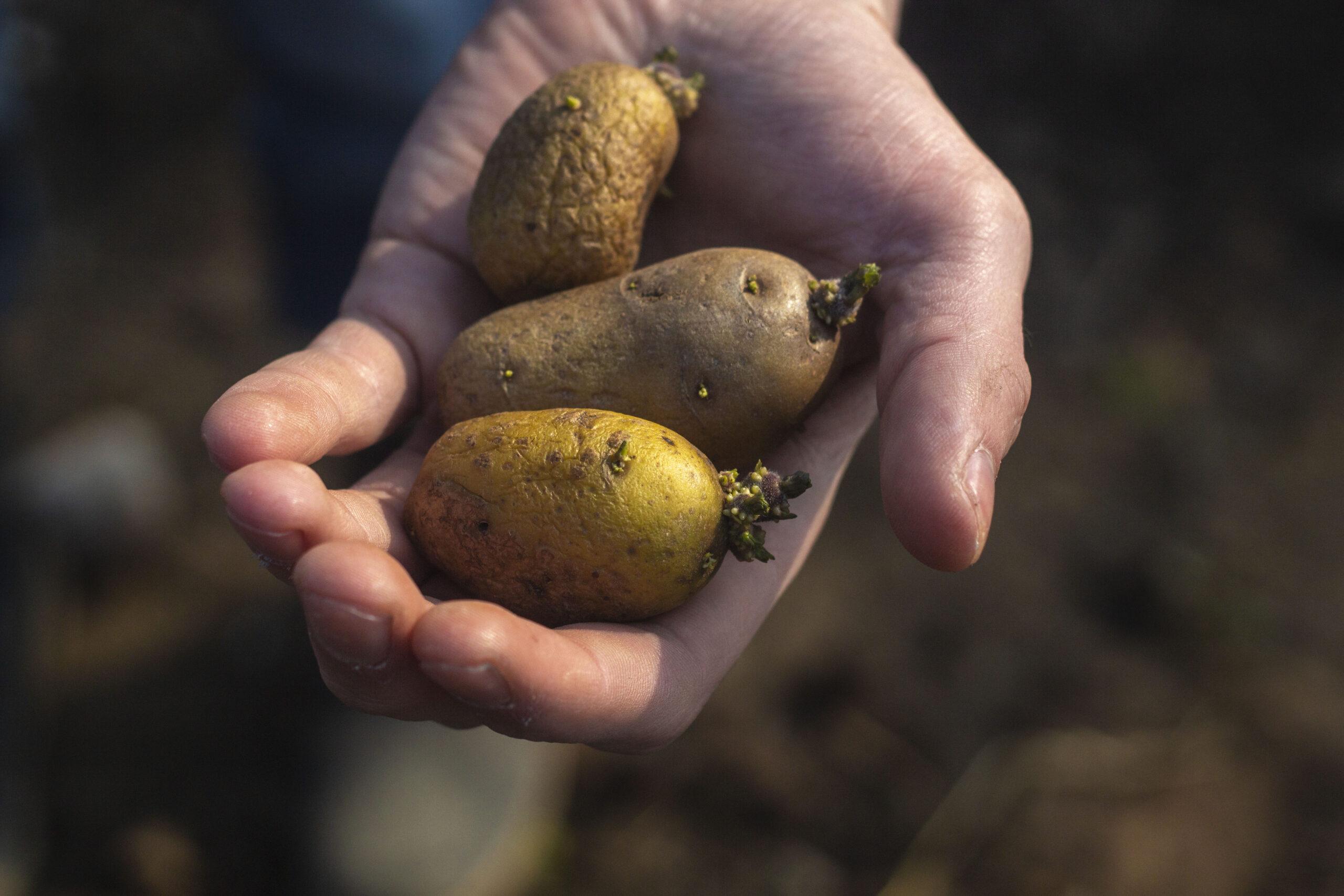 Sådan spirer du kartofler