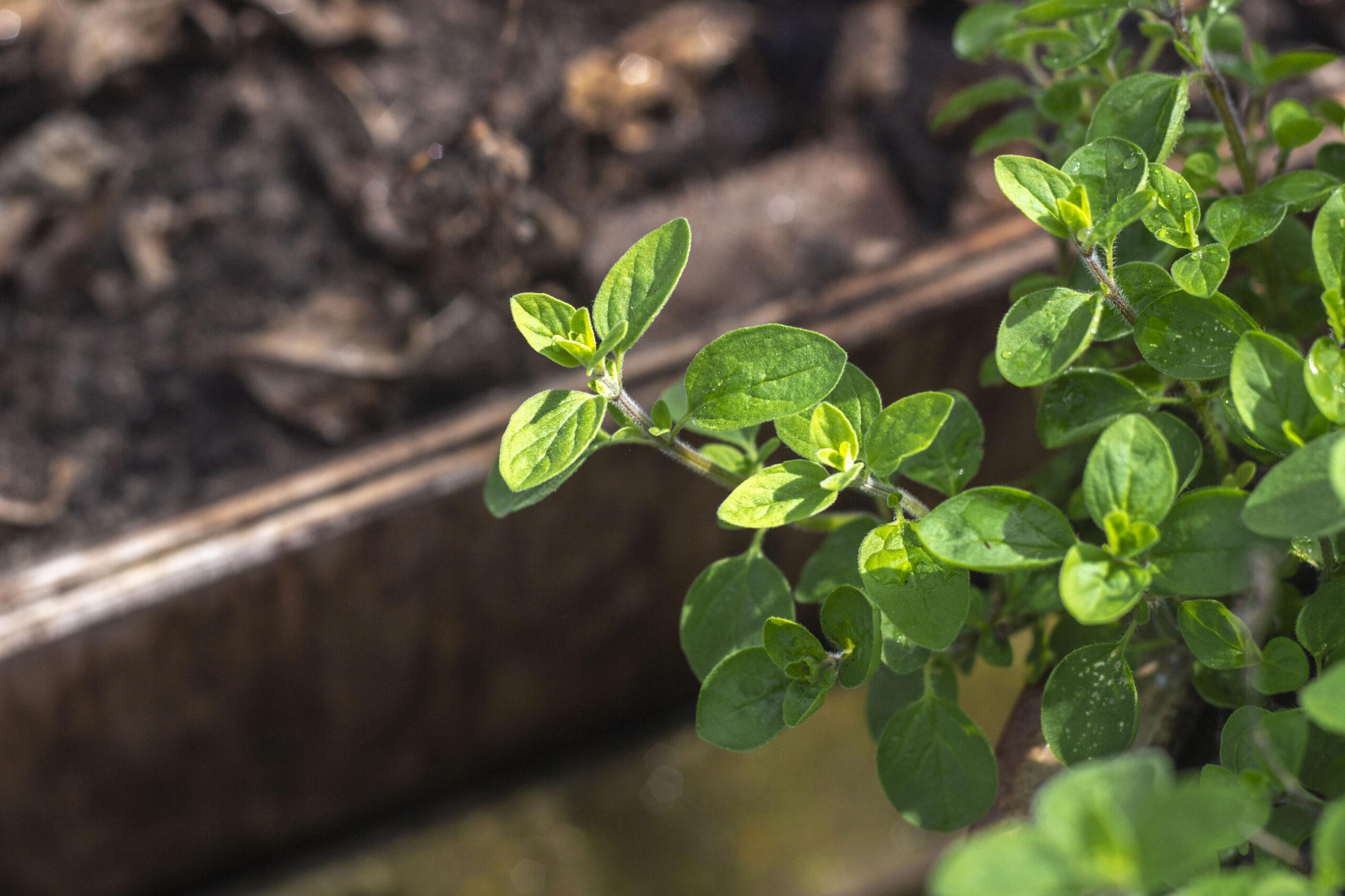 Såning & udplantning af oregano