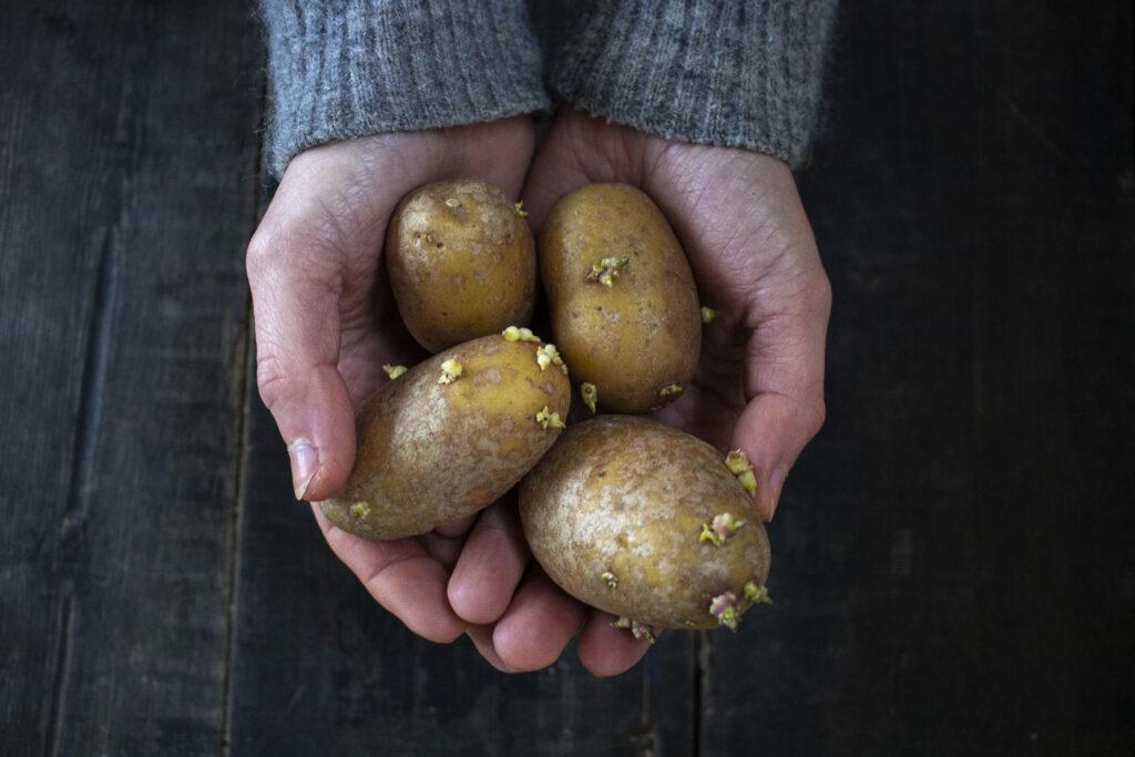 forspiring-af-læggekartofler
