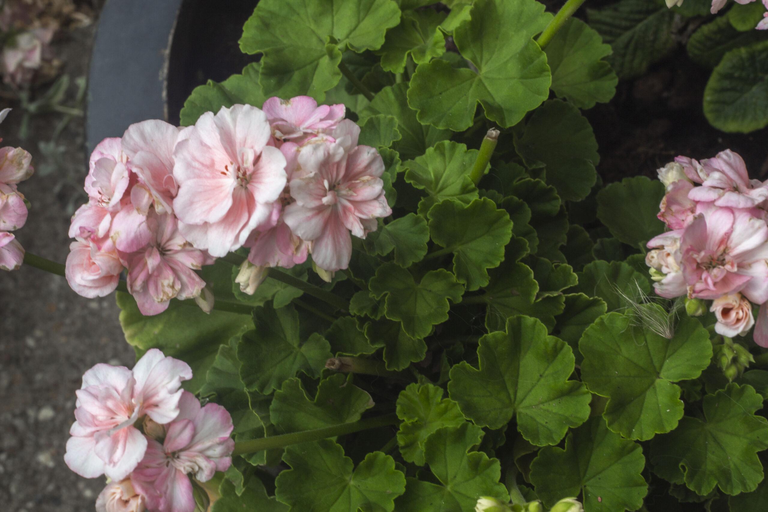 Smukke pelargonier i havens krukker