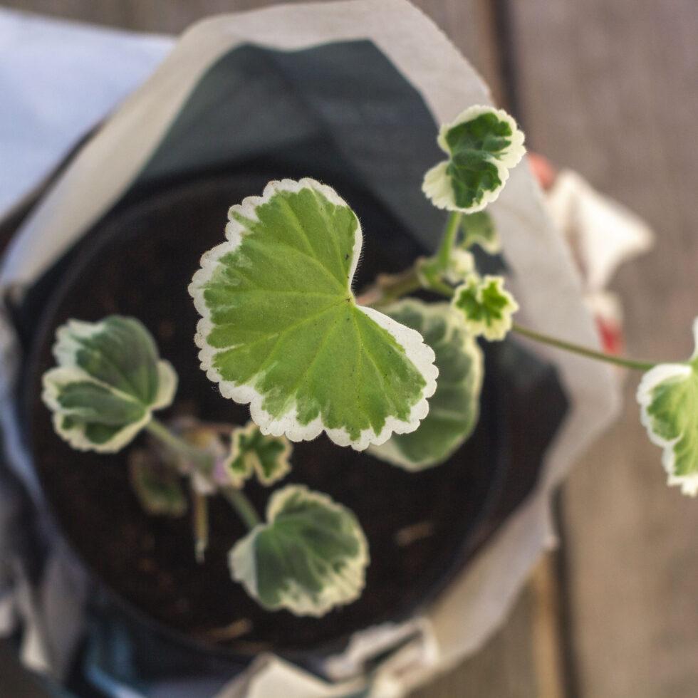 Romantiske pelargonier – Råd om dyrkning