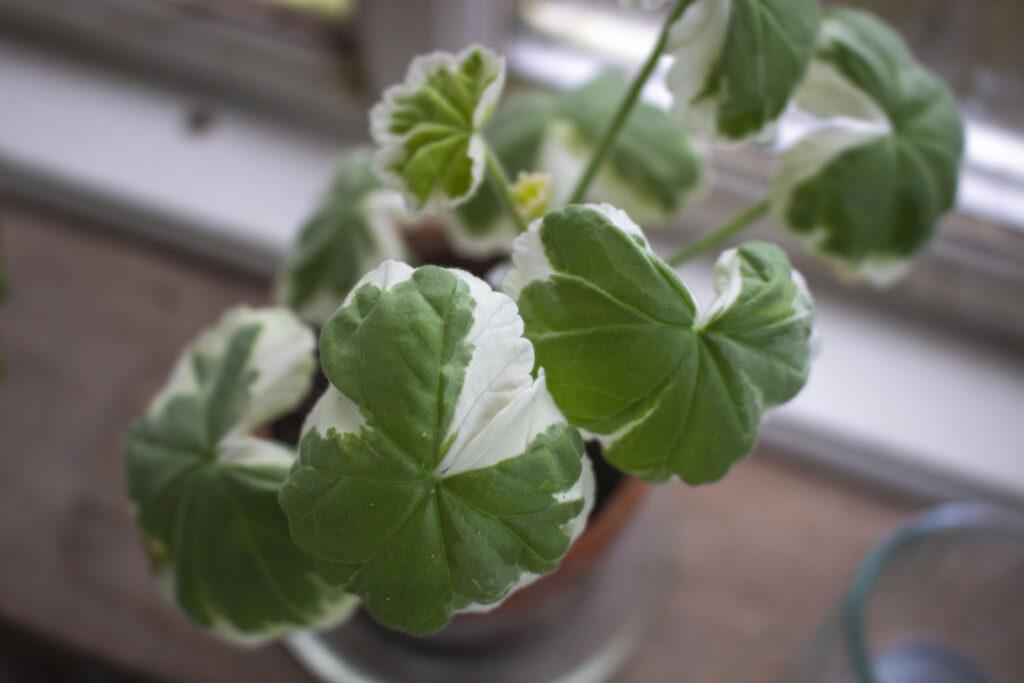 pelargonier-i-foråret