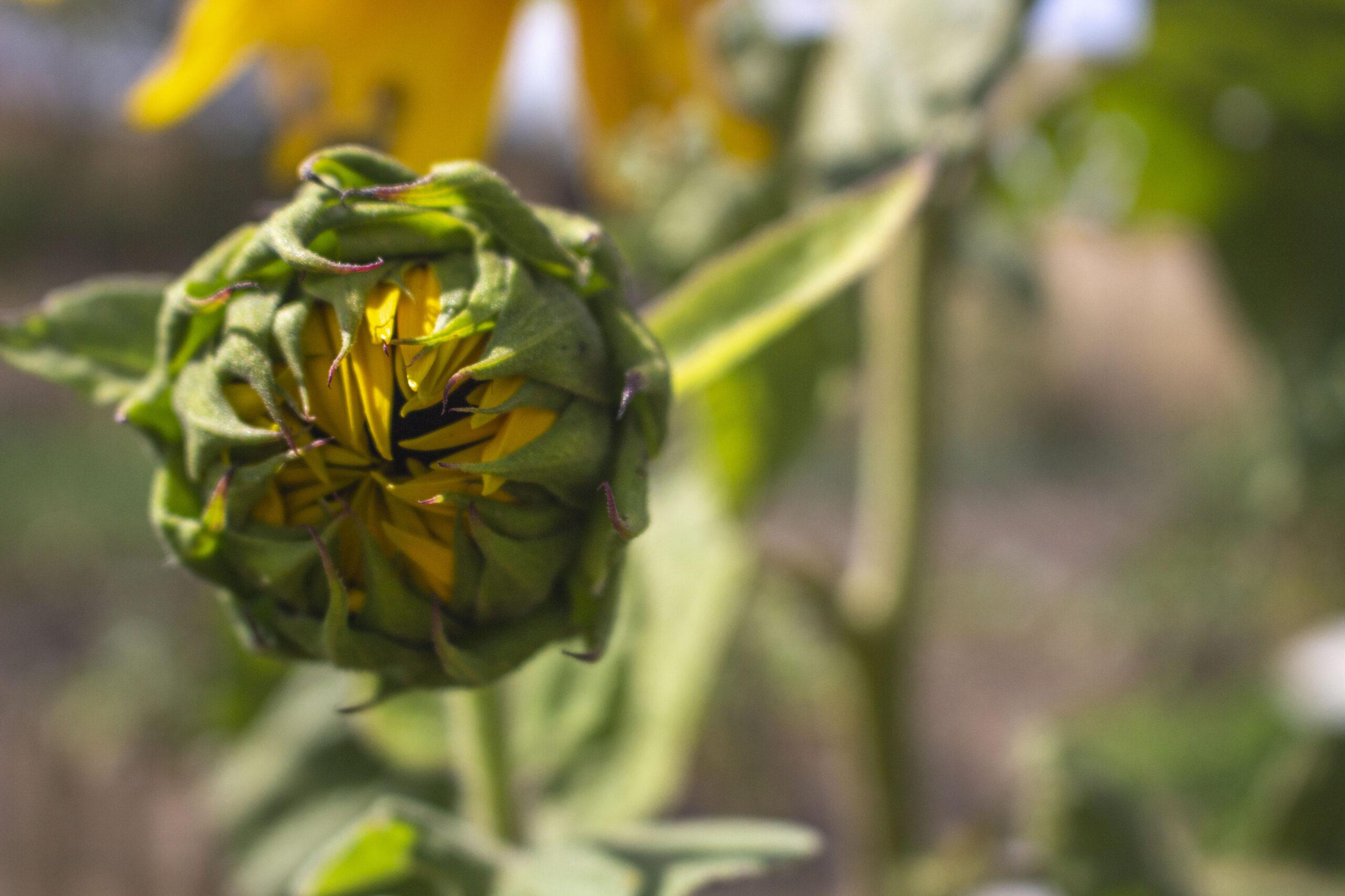 Plant solsikker i haven
