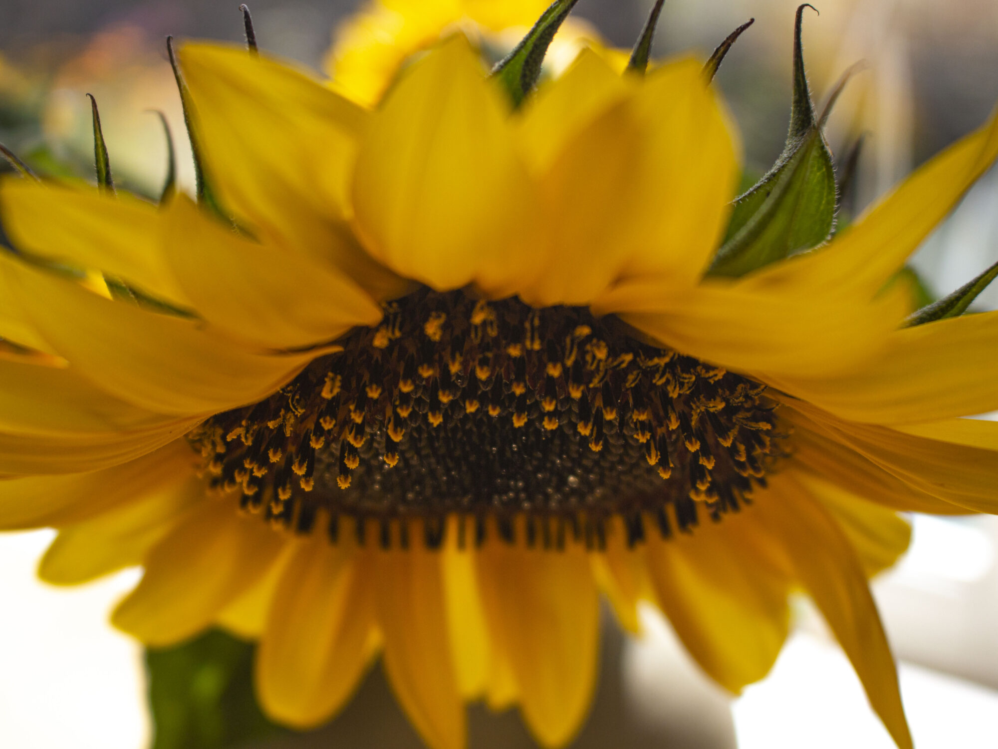 Plant gule & smukke solsikker