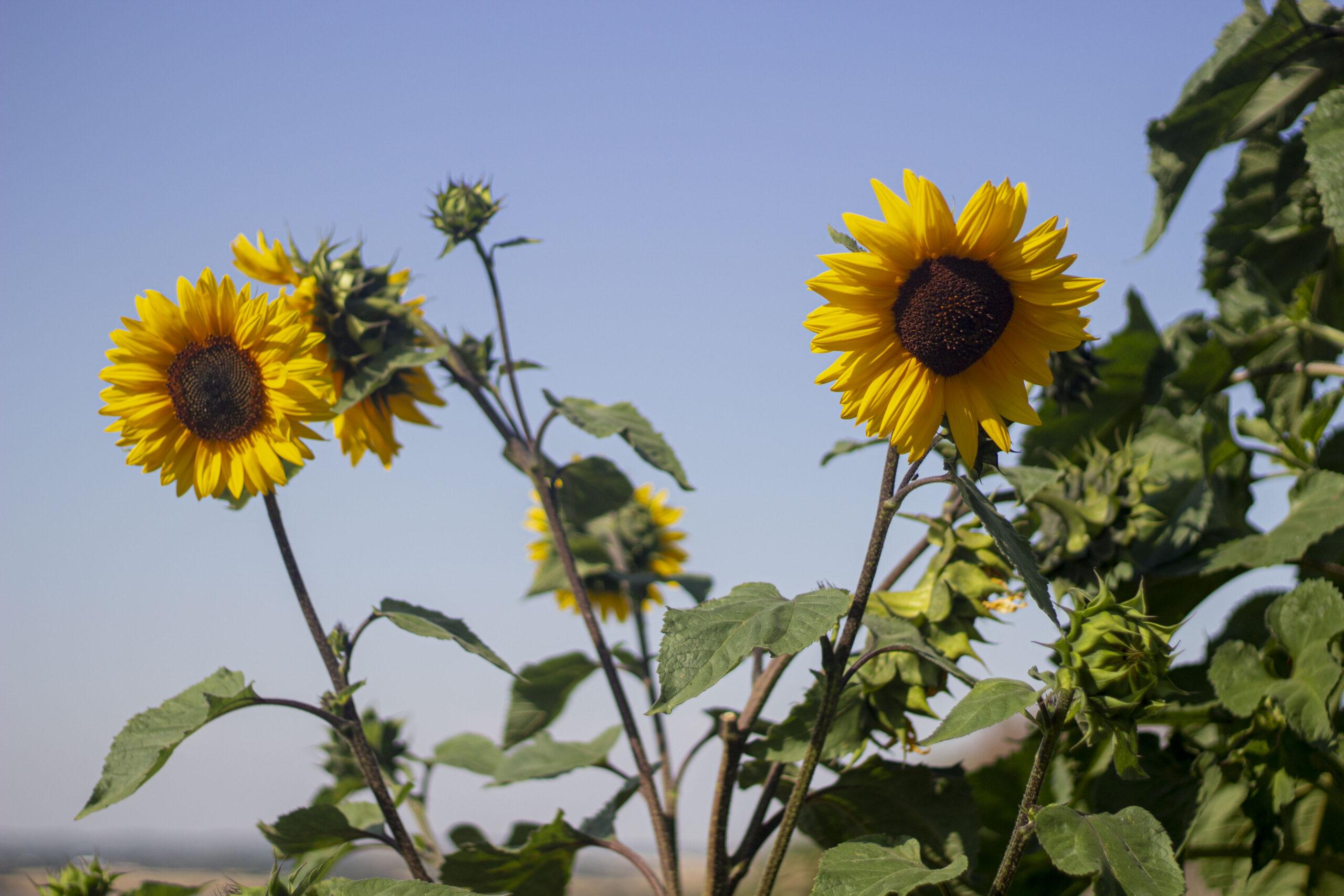 Dyrkning af solsikke