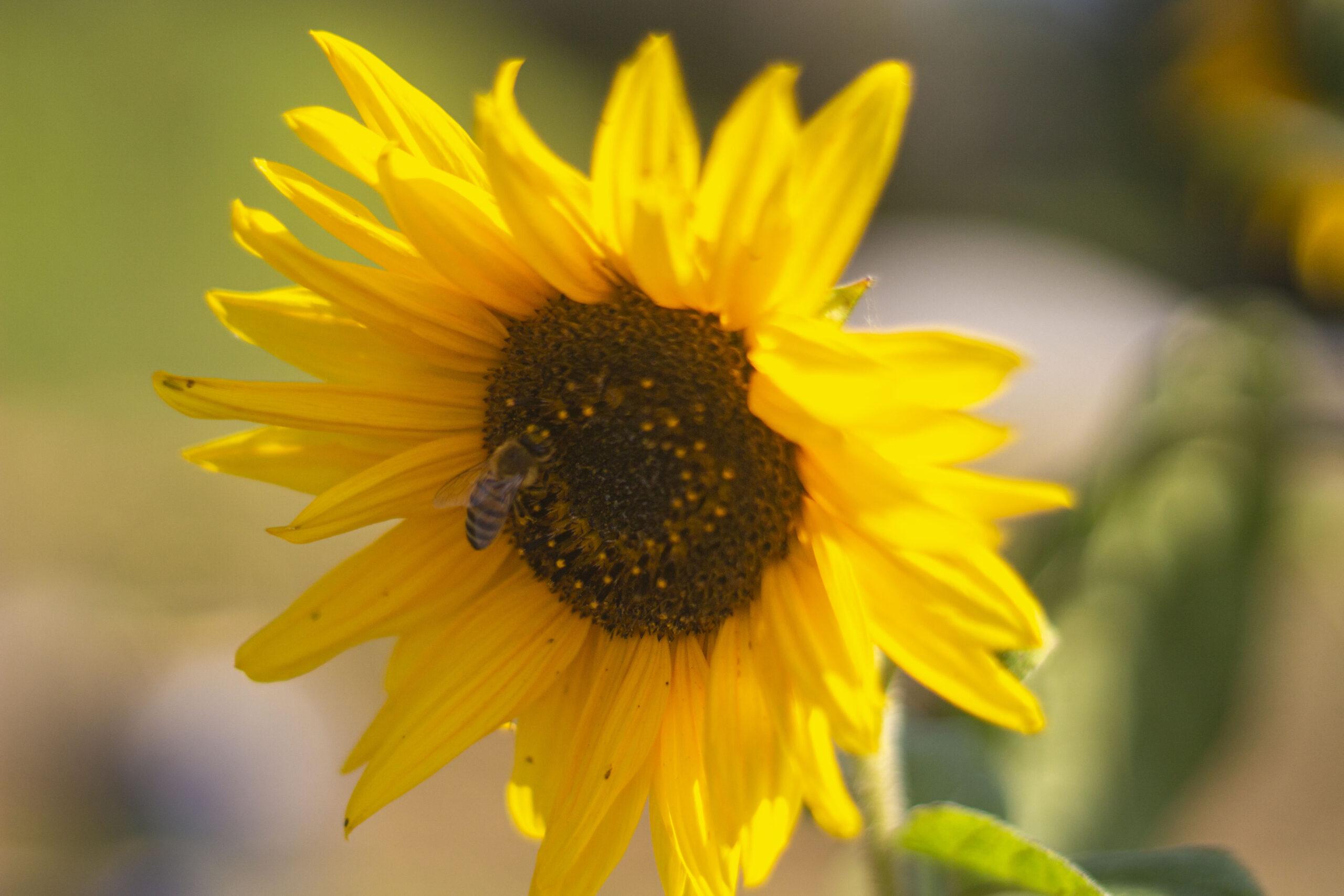 Fra forspiring til udplantning af solsikke