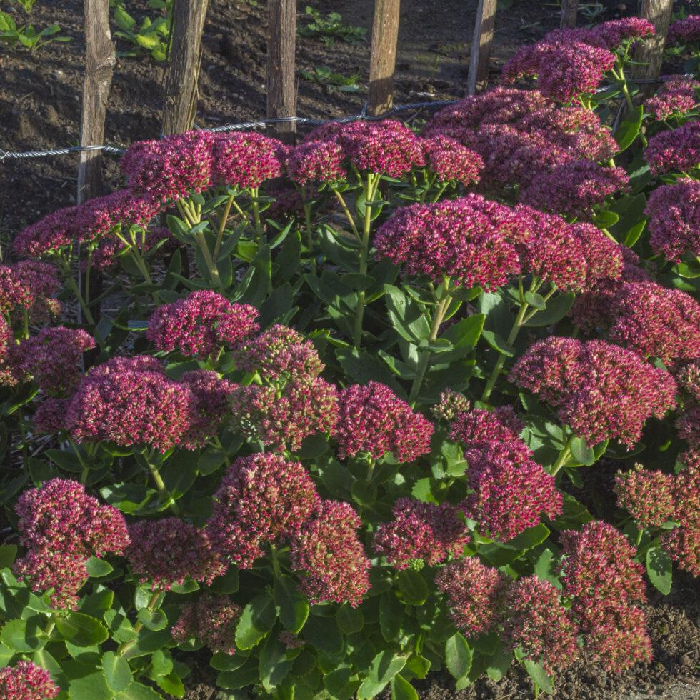 Sensommerskønhed – Plantning & pasning af sankthansurt