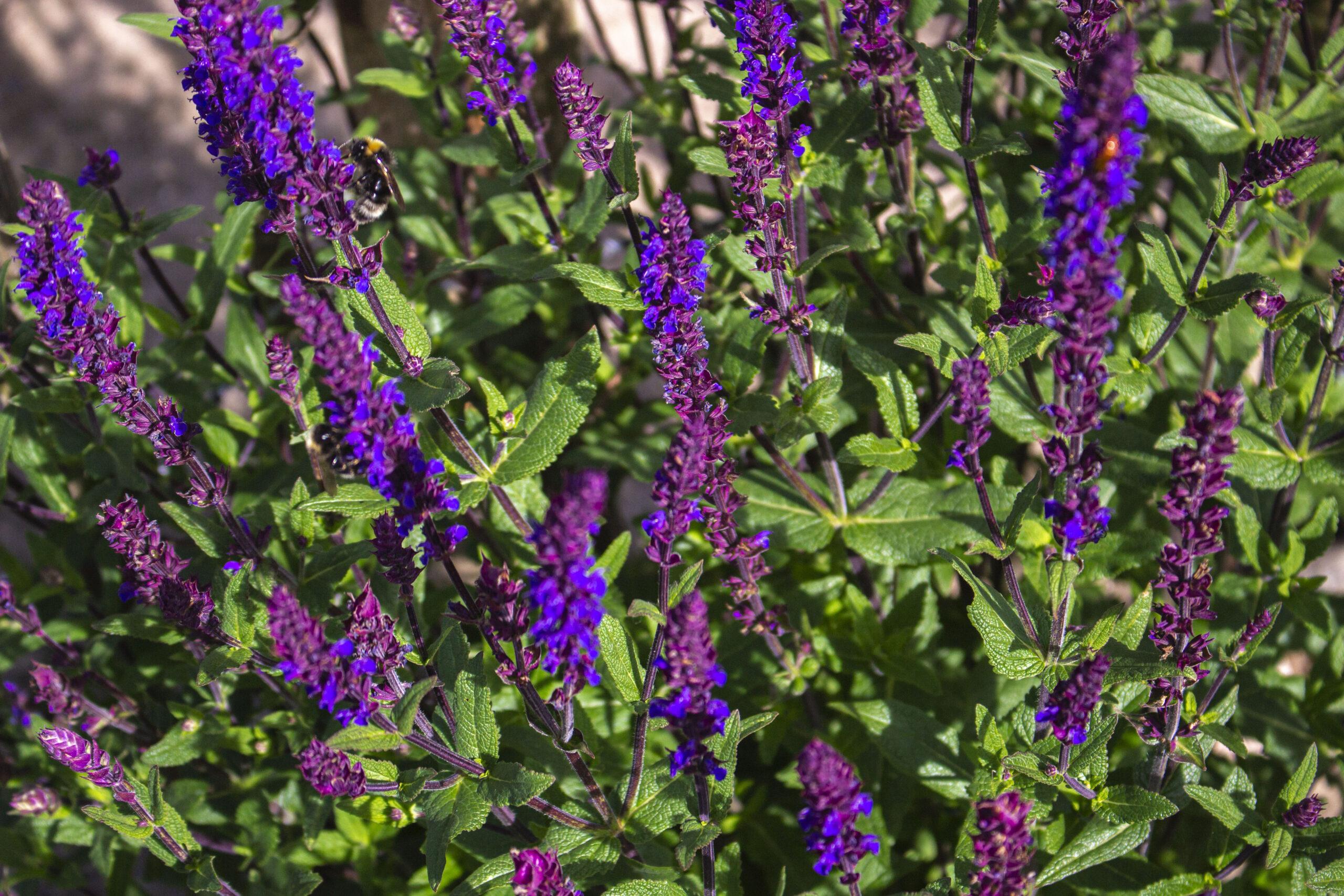 Rosa blå & hvid staudesalvie