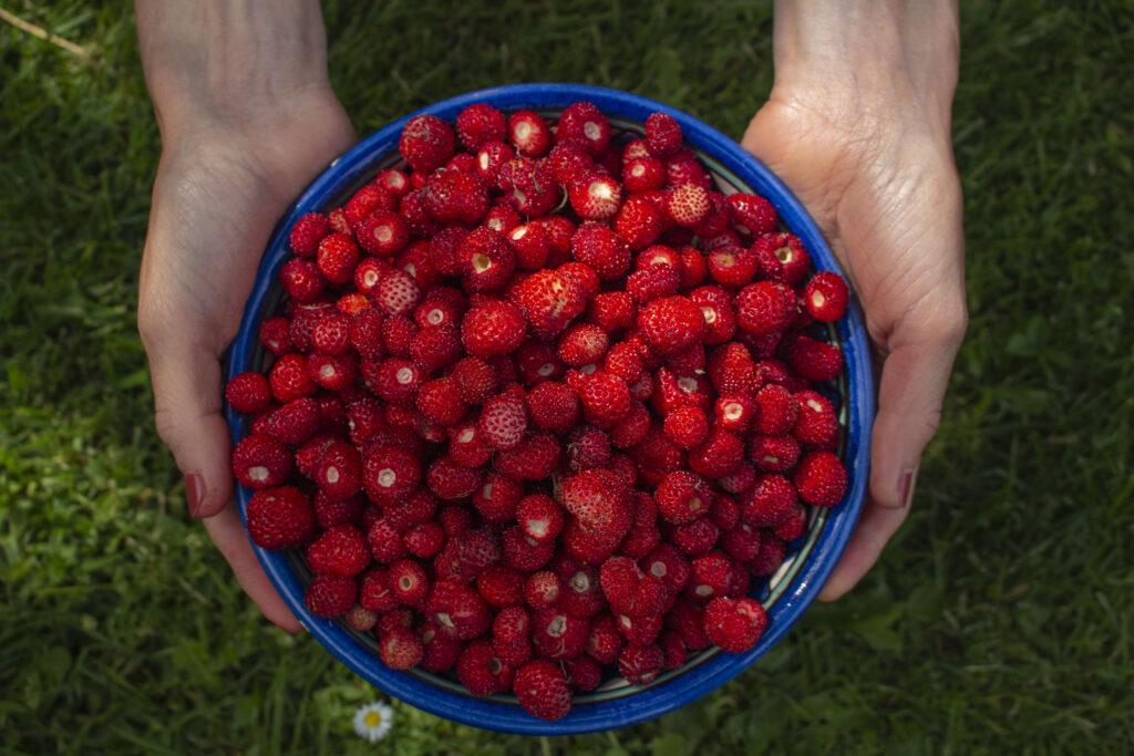 Høst & opbevaring af skovjordbær