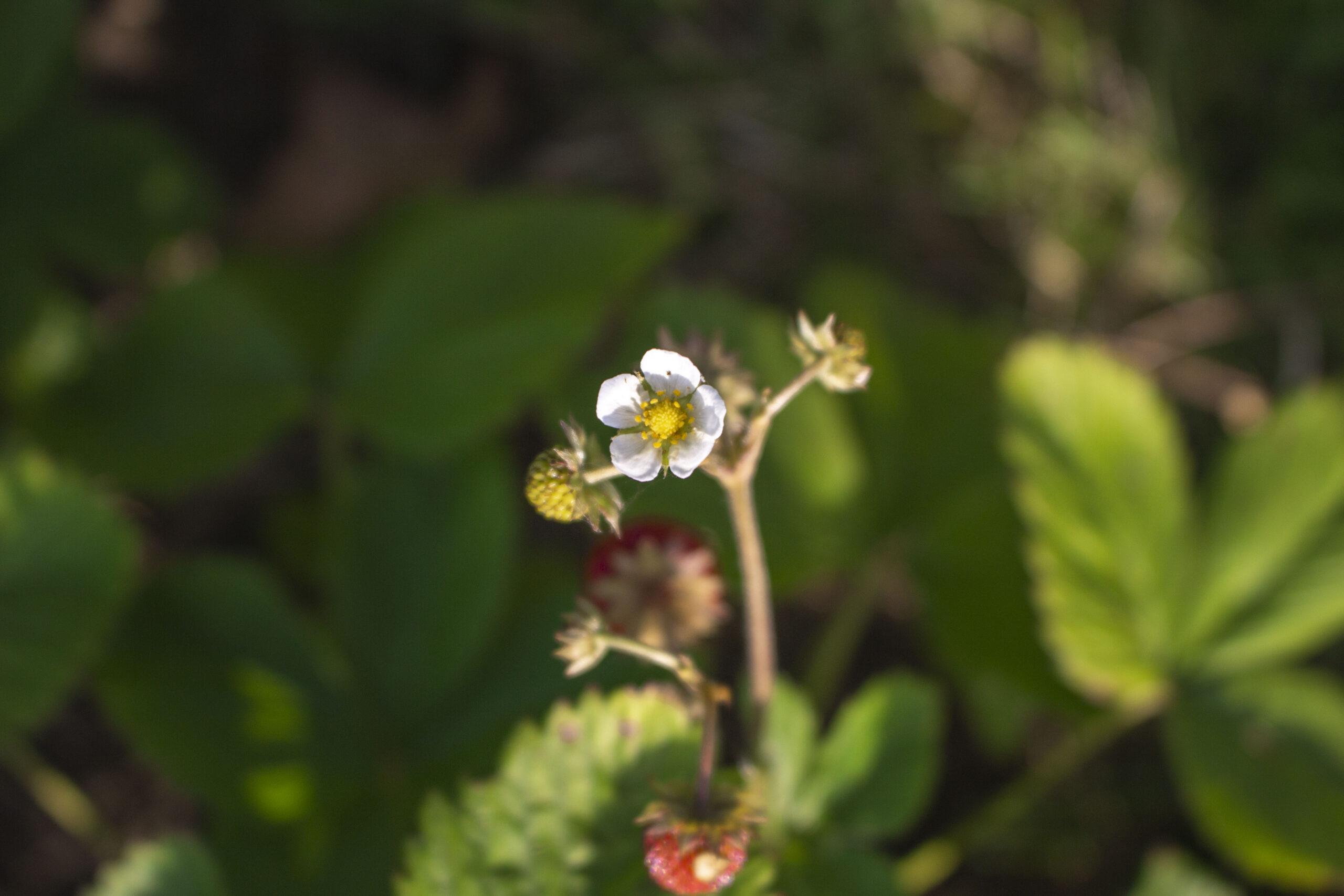 Tid til at plante skovjordbær