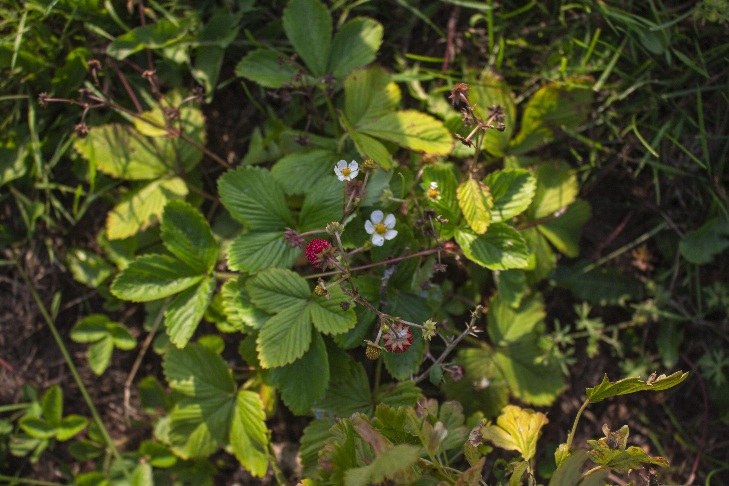 Små lækre skovjordbær