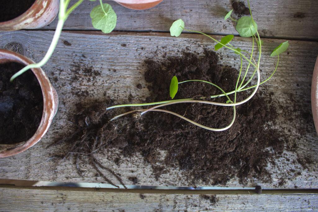 Sådan-udplanter-du-tallerkensmækker