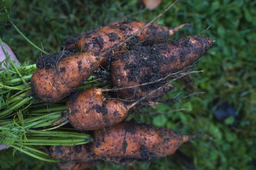 Tid til såning af gulerødder