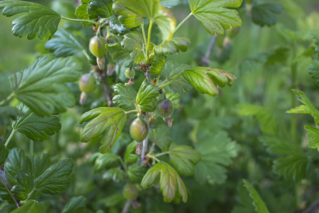 dyrkning af stikkelsbær