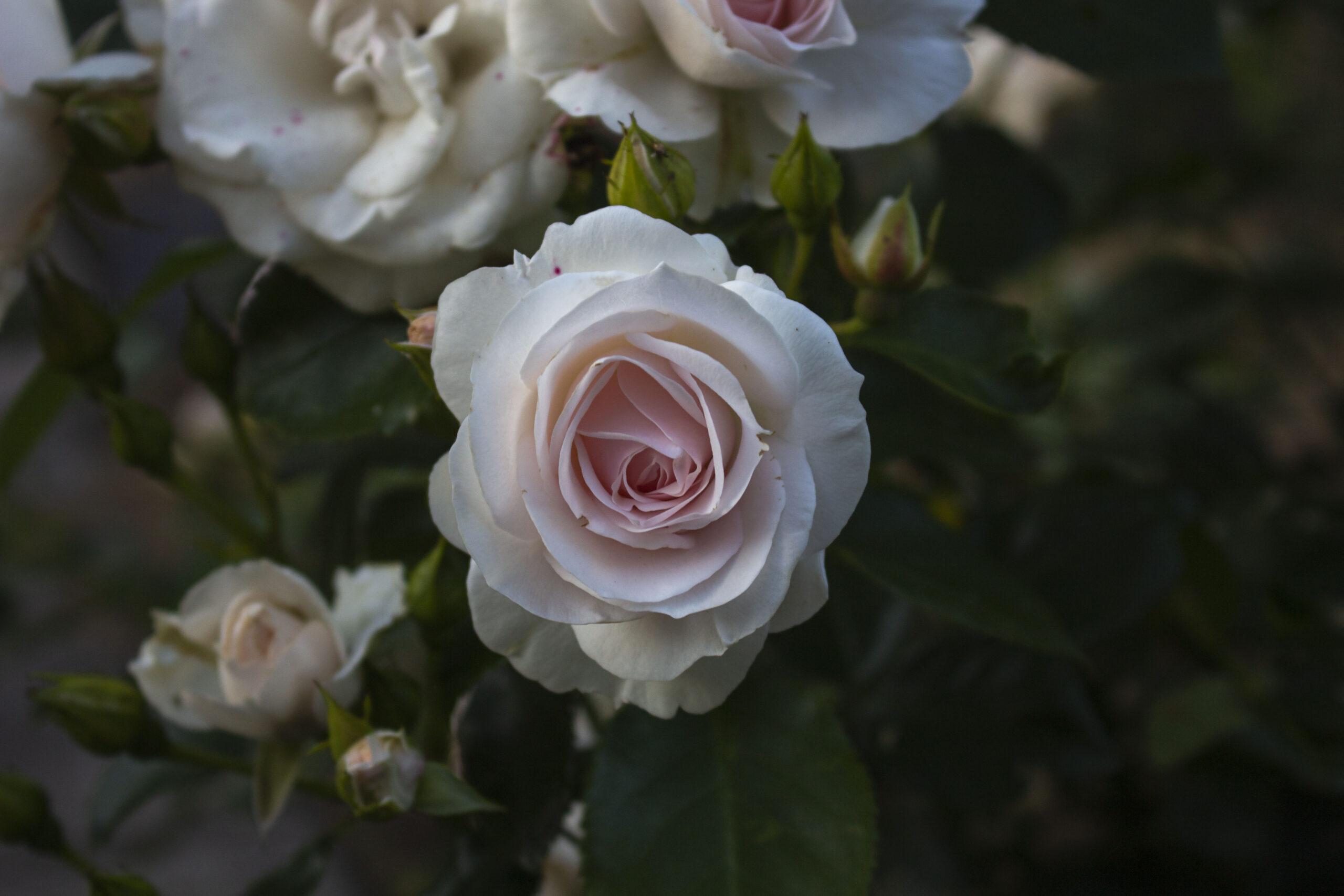 9-Roser