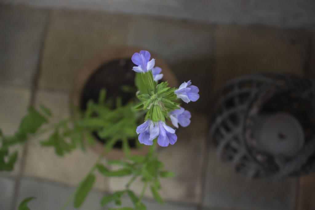 Du kan plante salvie i krukker & potter