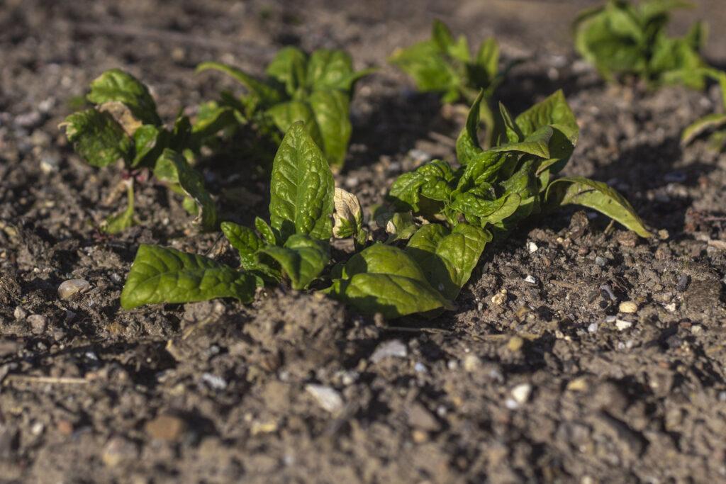 Begynd-med-jordforbedring-til-spinat