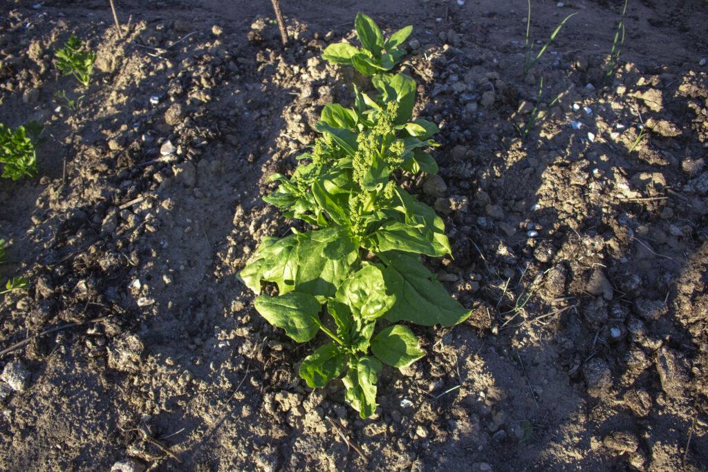 Brug-spinat-som-efterafgrøde