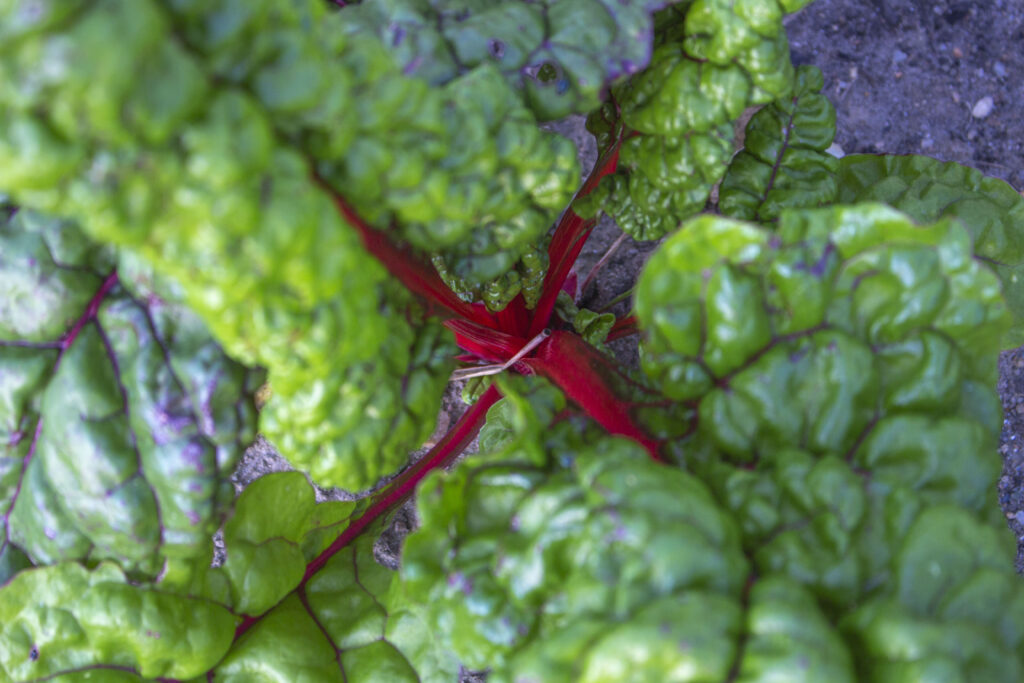 Dyrkning-af-bladebede-i-haven