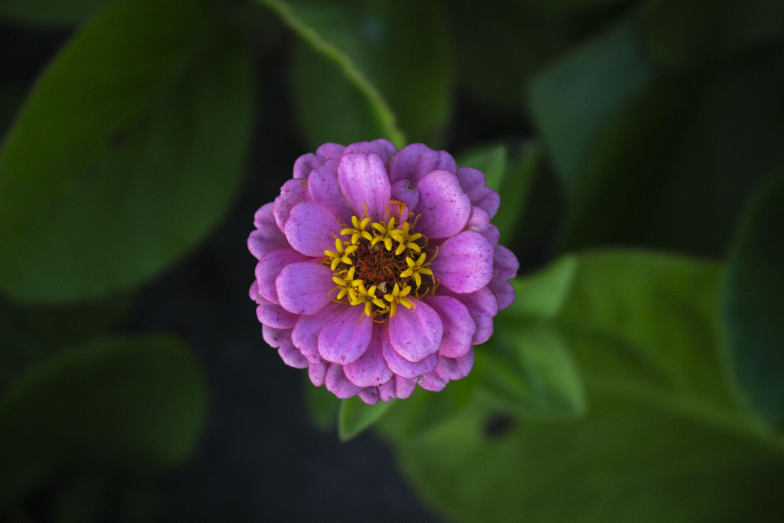 Frøkenhat-Plant-de-skønneste-zinnia-i-haven
