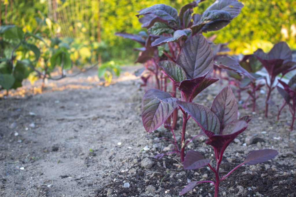 plante-amarant
