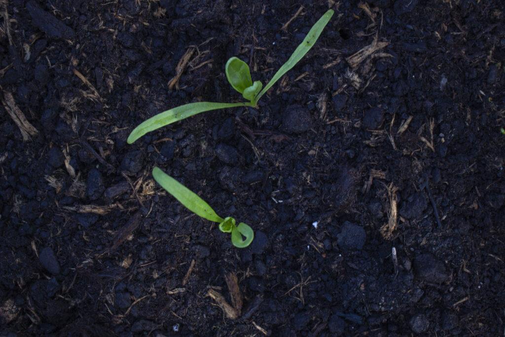 begynd med jordforbedring til spinat