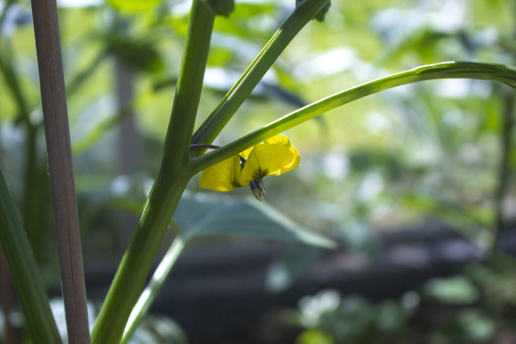 dyrkning-af-tomatillos