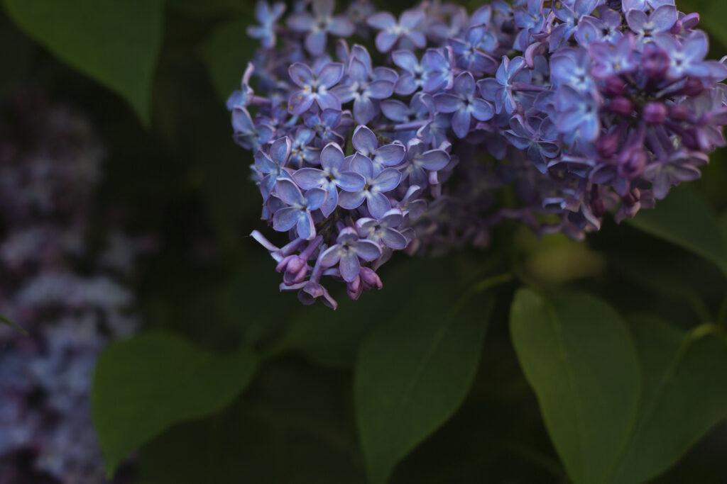 syrenerne-blomstrer