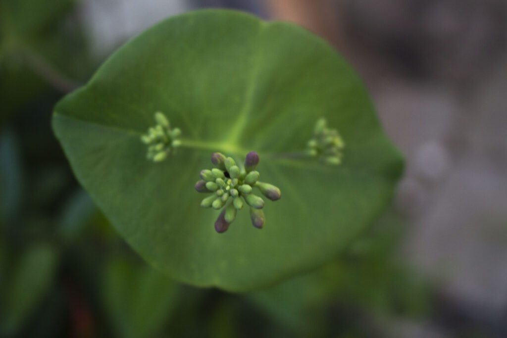 udplantning af kaprifolie