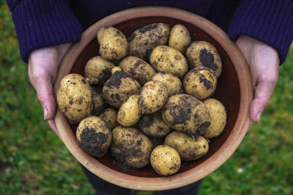 høst de første kartofler i haven i juni