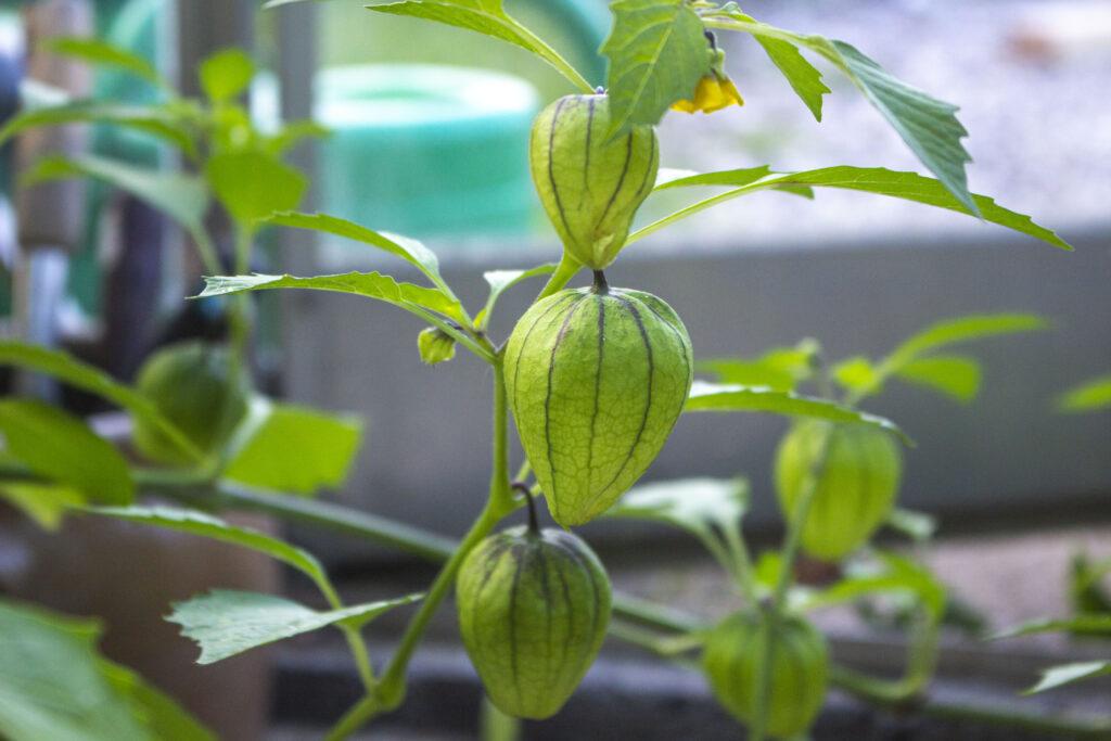 Pasning af planter i drivhuset