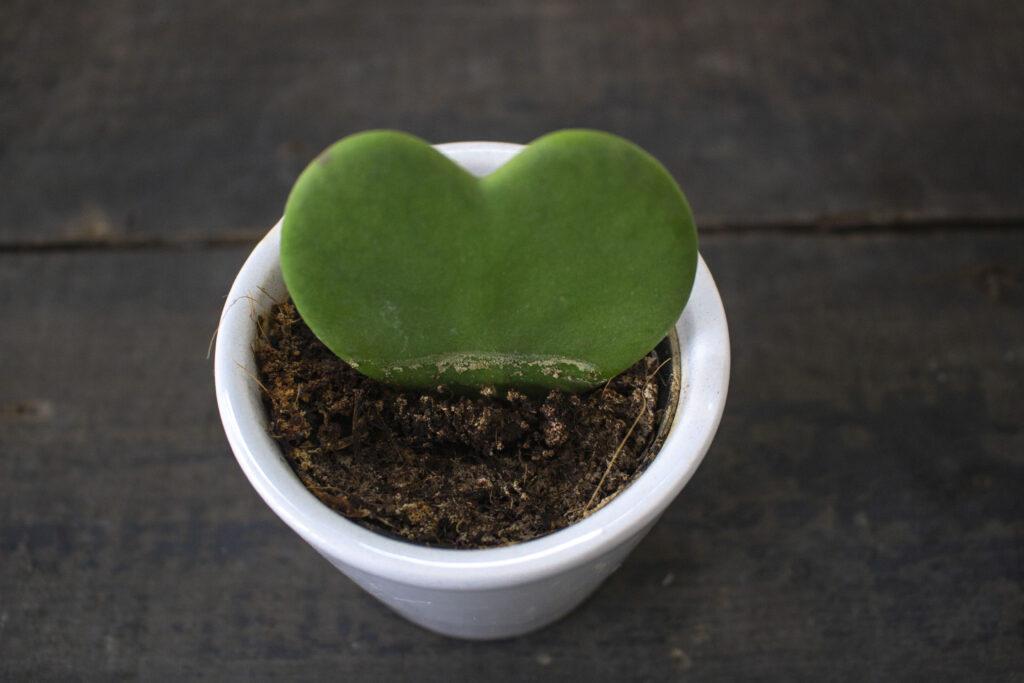Omplantning af kaktus trin for trin