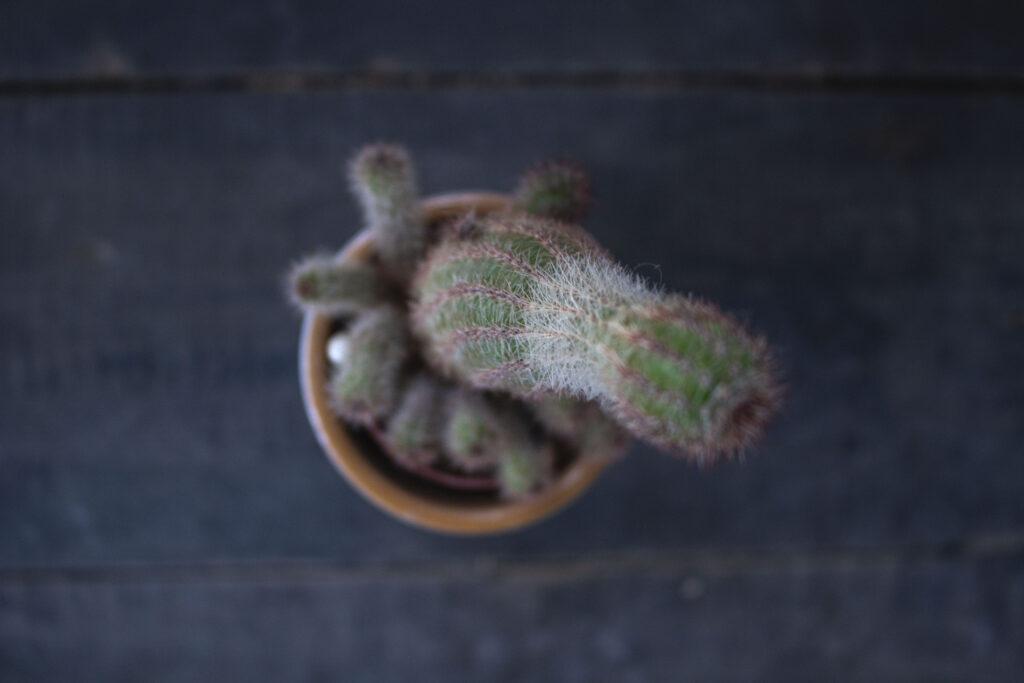 Pas på din kaktus om vinteren