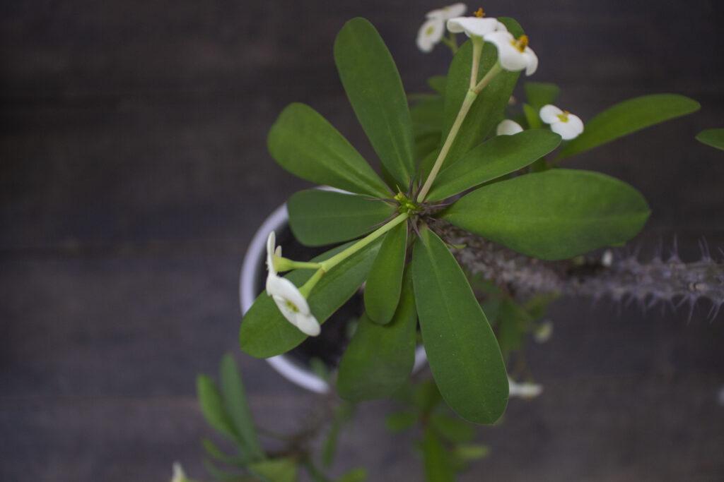 Sådan får du en kaktus med blomster