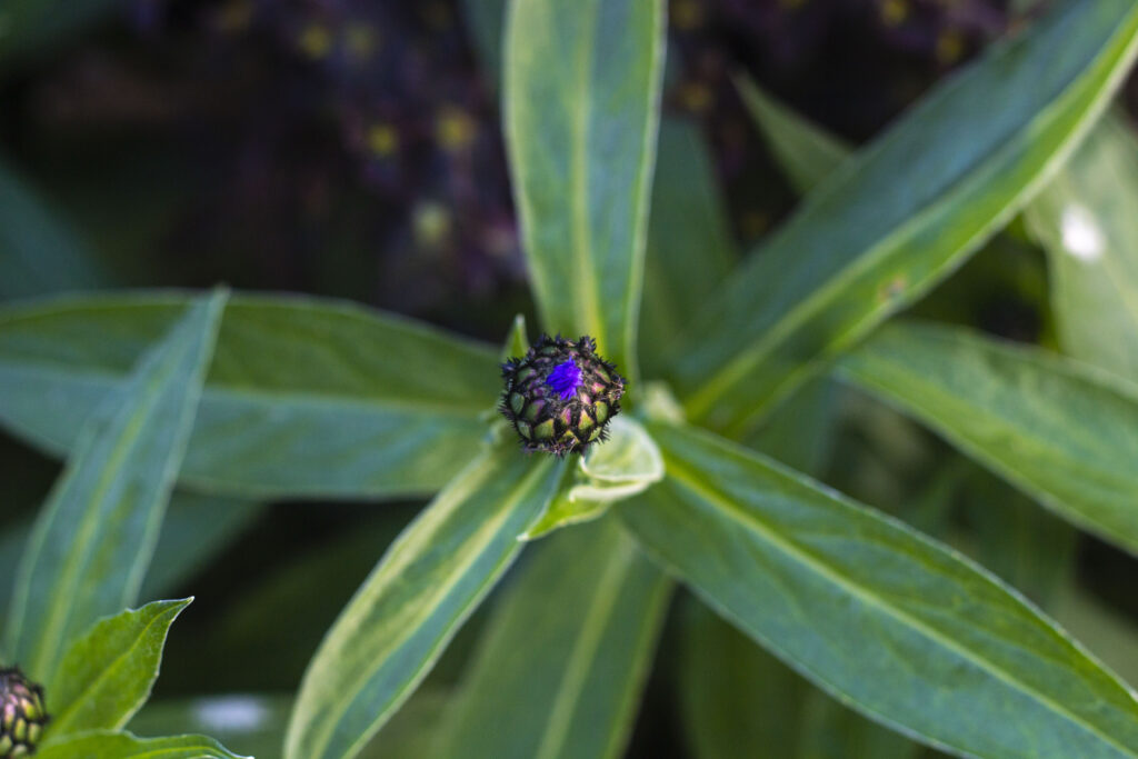 Såning af bjergknopurt fra frø