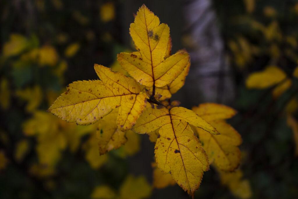 Det er en god idé at rive blade sammen i haven i efteråret