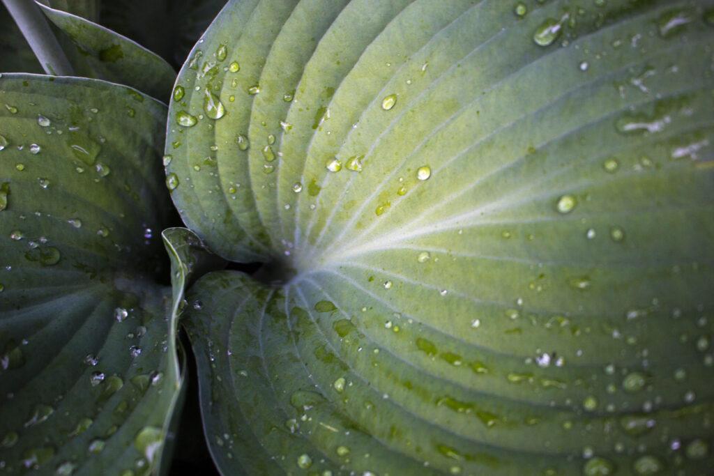 Du kan dele & plante stauder i efterårshaven