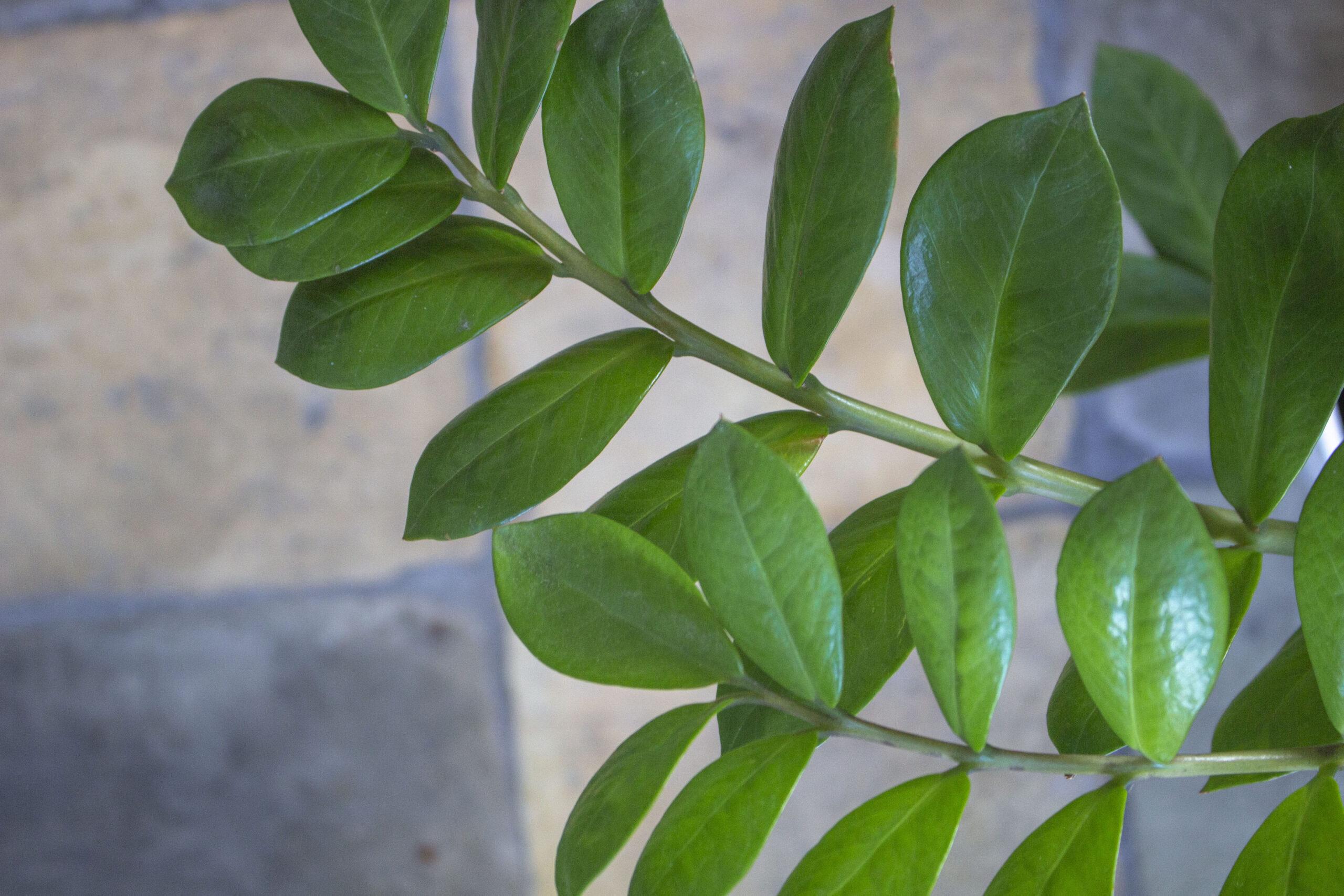 Smaragdblad – Zamioculcas Zamiifolia