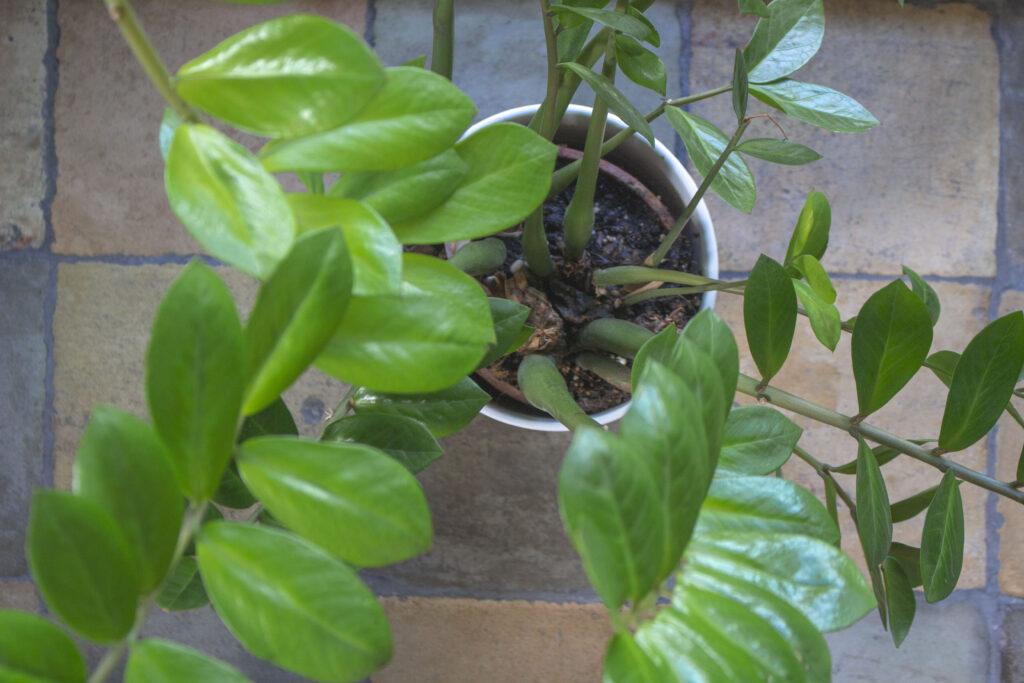 Smaragdblad er verdens nemmeste stueplante