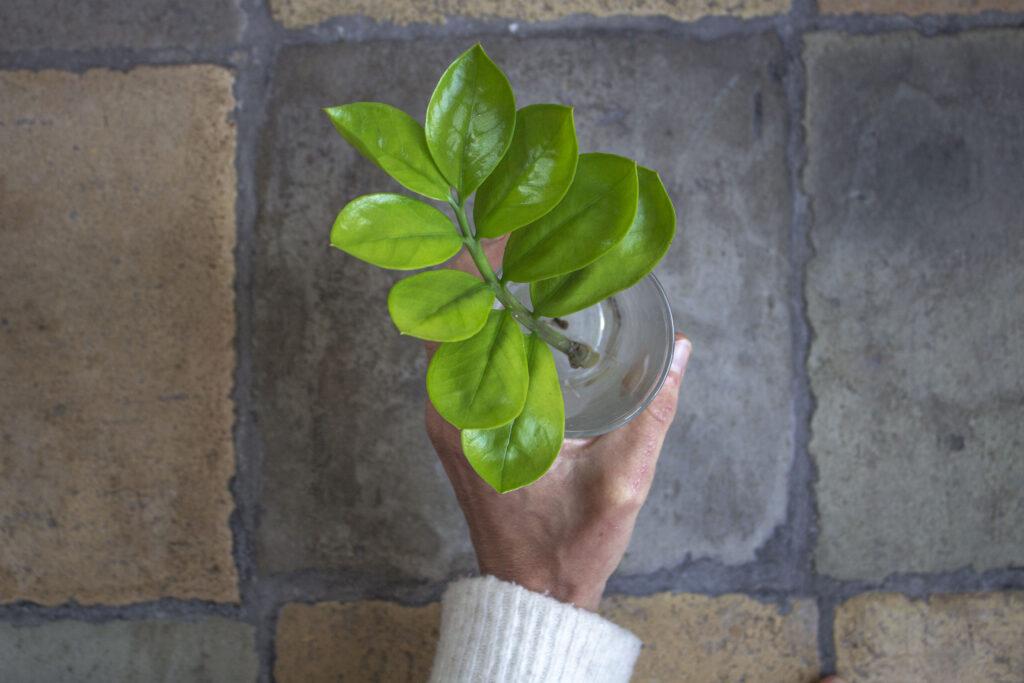 Tag stiklinger af smaragdblad
