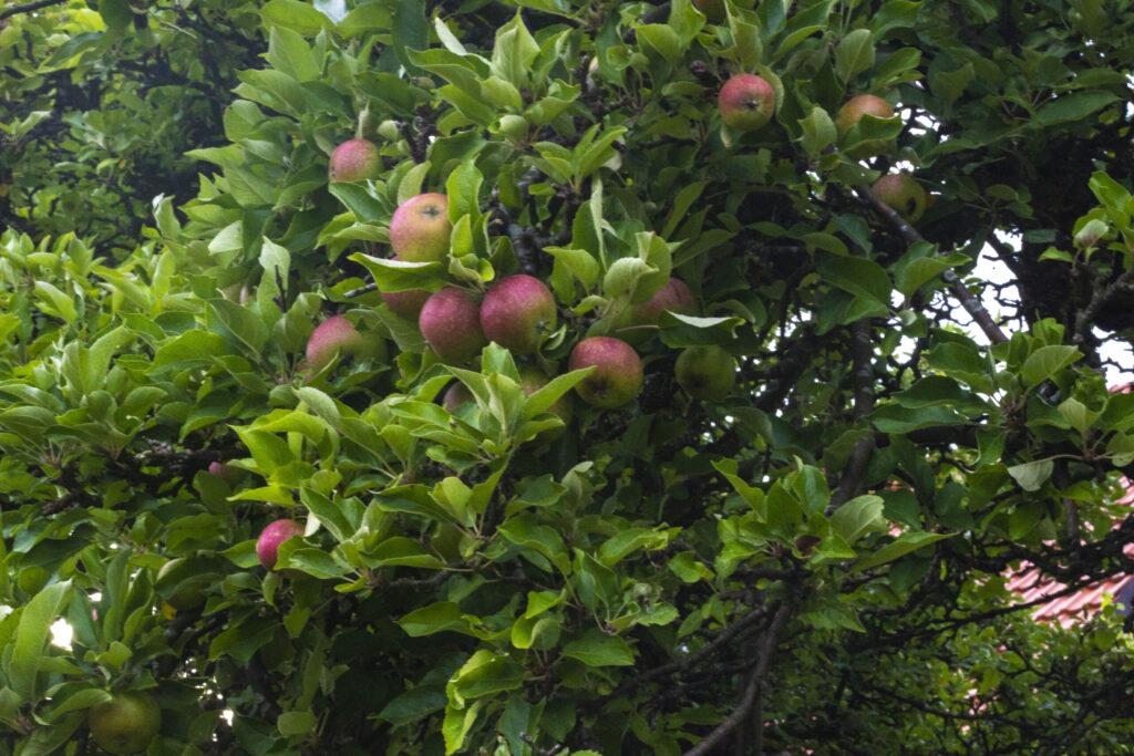 Der er fordele ved at bruge en frugtplukker