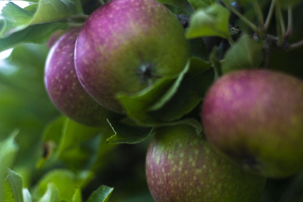 Hvornår kan jeg plukke æbler?
