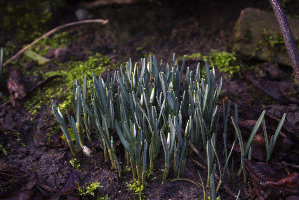 Få flere vintergækker i haven