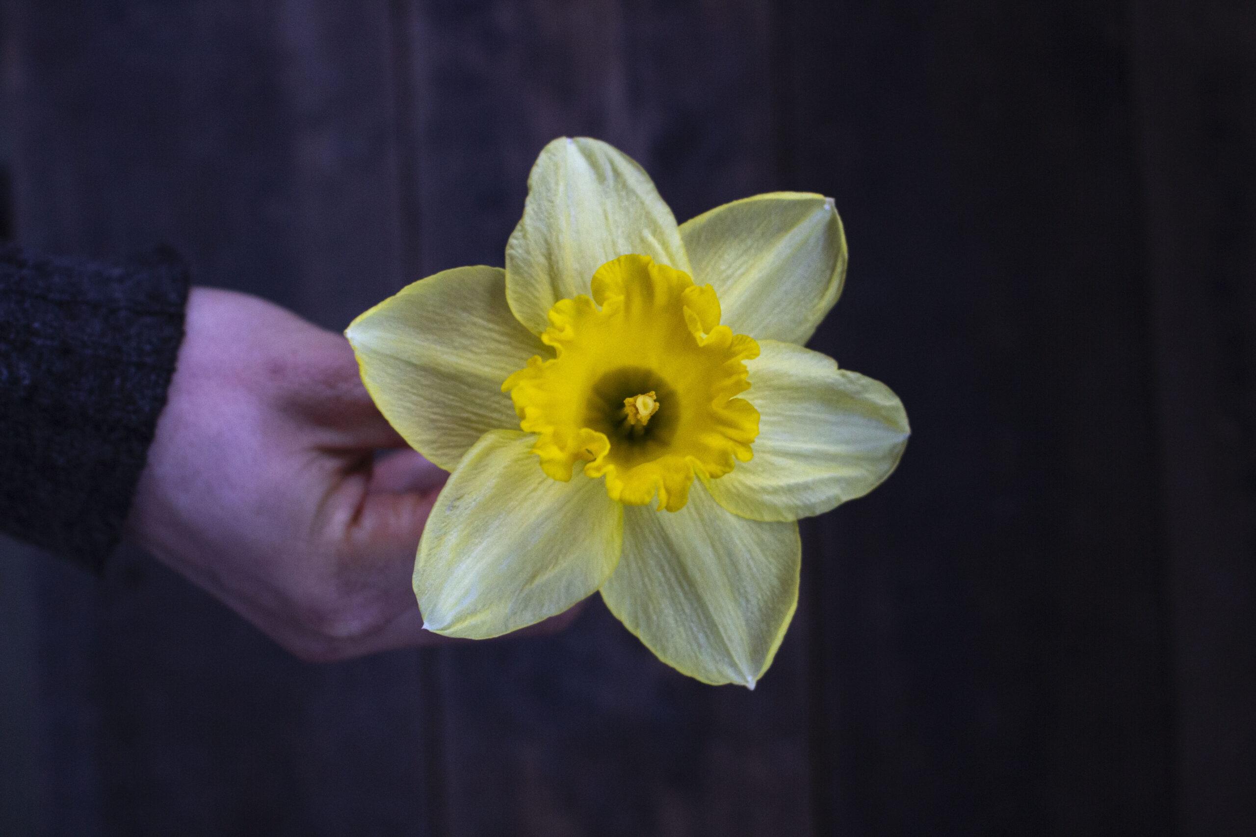 Få smukke påskeliljer i haven