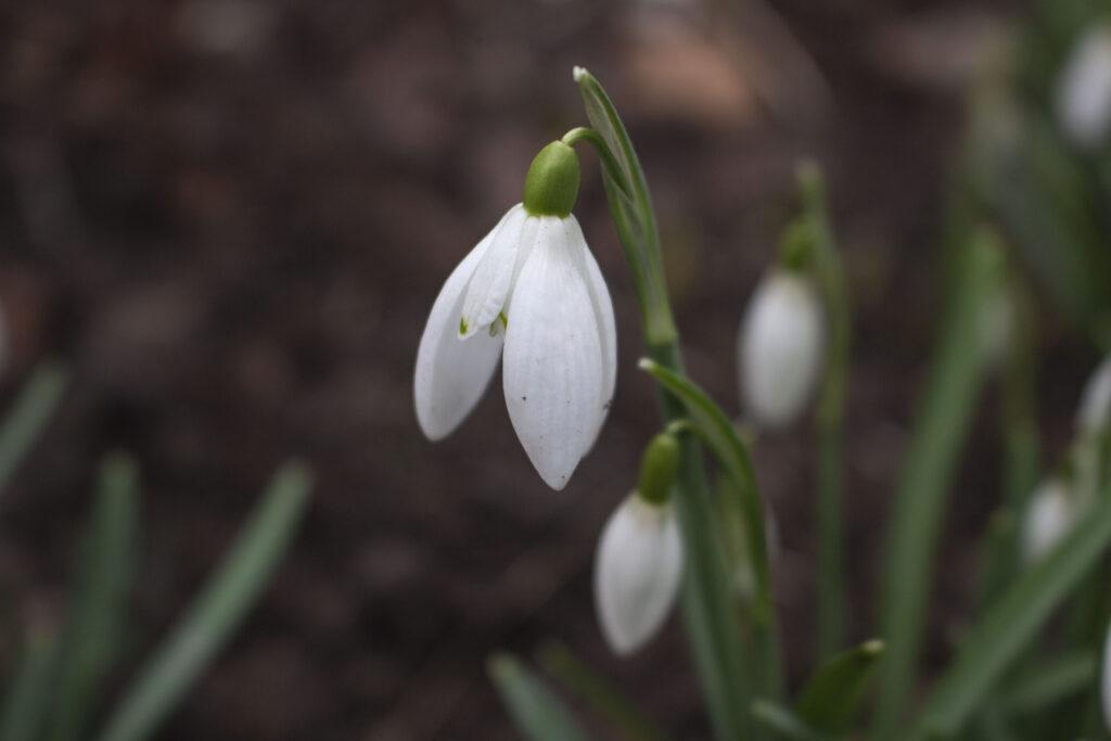 Hvornår blomstrer vintergæk?
