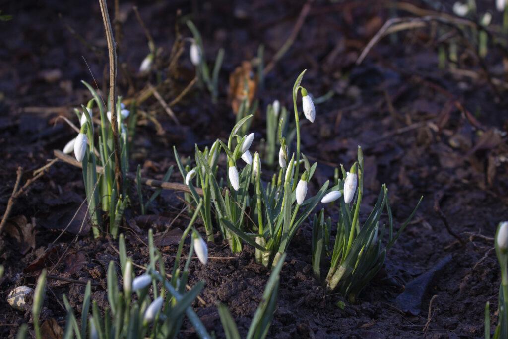 Vintergæk & erantis er sikre tegn på forår