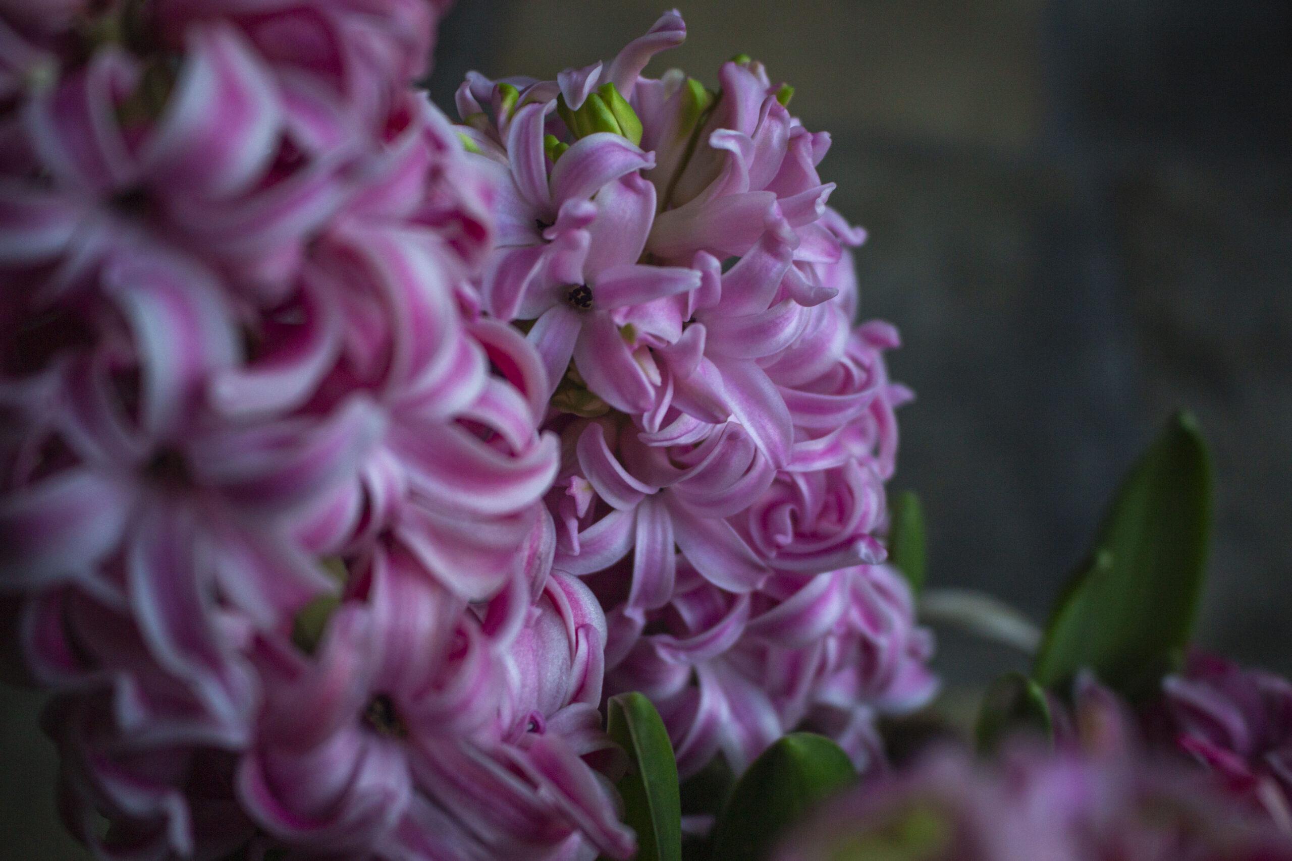 Den fineste hyacint