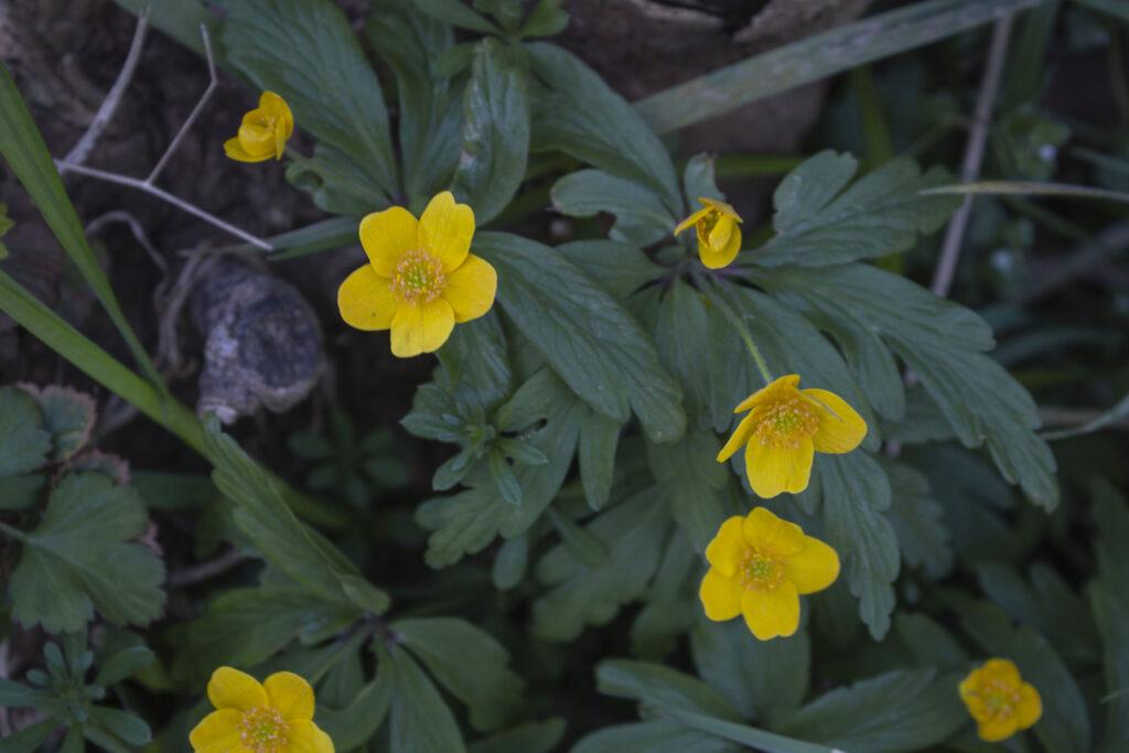Få anemoner i haven